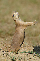 "Black-tailed Prairie Dog (Cynomys ludovicianus) exhibiting a ""jump-yip"" signal.  Northern Great Plains, summer."