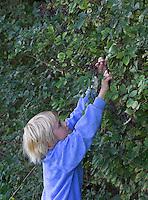 Schwarzer Holunder, Junge erntet reife Früchte, Fliederbeeren, Holunderbeeren, Sambucus nigra, Common Elder, Elderberry, Sureau commun, Sureau noir,