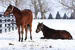 17 January 2010.   Kentucky Stallion Farms.  Two yearlings at one of the farms in Woodford County.