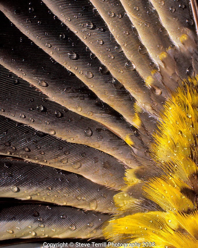 Water drops on underside of grosbeak feather