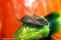 HE10-003a  Squash Bug - Anasa tristis