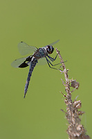 Black Saddlebags (Tramea lacerata) Dragonfly - Male, Wallkill National Wildlife Refuge, Sussex, Sussex County, New Jersey