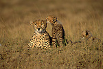 On the vast savannahs of East Africa, a family of cheetahs passes the sweltering afternoon lounging in the grass.