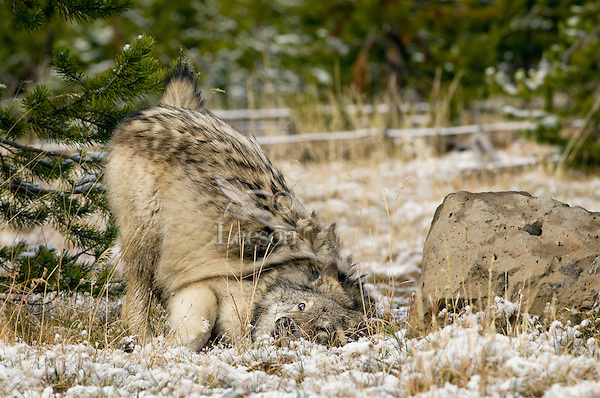 Wild GRAY WOLF (Canis lupus) rubbing on something on the ground.  Wolves or dogs will often roll or rub on something odorous (frequently something dead and stinking) to help mask their scent.  Greater Yellowstone Ecological Area.  Fall.