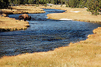 Male bison standing in autumn colored meadow at edge of Firehole River, Yellowstone National Park, Wyoming, USA