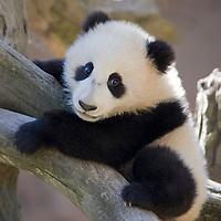 Baby Panda climbing