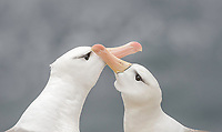 Thalassarche melanophris<br /> <br /> Black browed albatross courtship