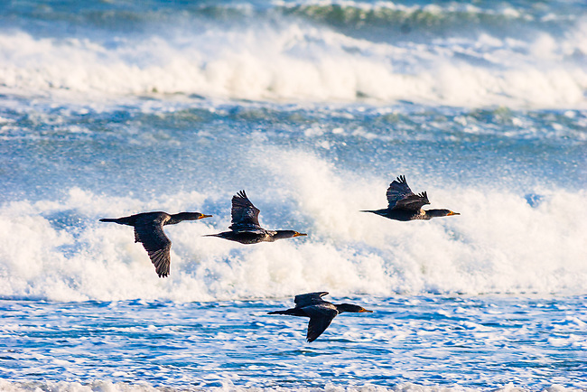 Double-crested Cormorant (Phalacrocorax auritus) over surf, Cape Hatteras