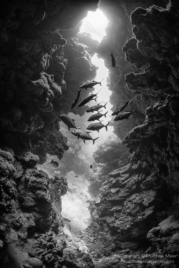 Great Barrier Reef, Australia; Blackjack fish swimming through a cavern in the massive coral formations at Dungeons and Dragons reef