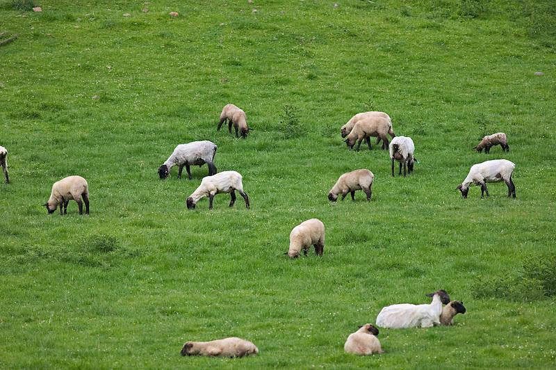 Newly sheared sheep on farm. Near Imnaha, Oregon