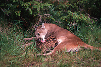 An adult female mountain lion grooms her cubs as they nurse.