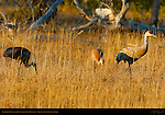 Sandhill Cranes and Juvenile in Fall Plumage at Sunset, Yellowstone National Park, Wyoming