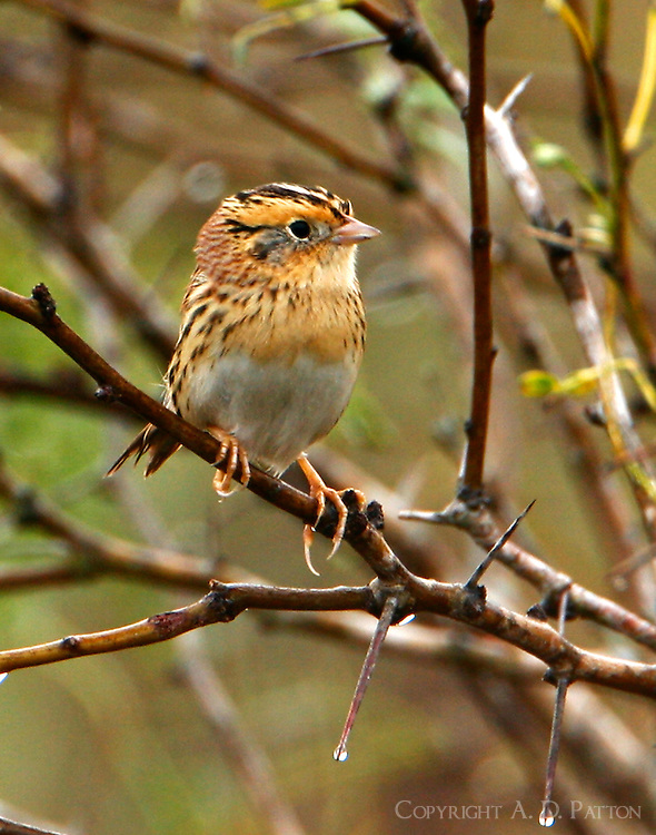 Adult LeConte's sparrow in mesquite tree on foggy morning
