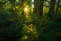 The lush ferns of the Quinault rainforest with subtle illumination from the early light of day.  Please view this photograph in dark surroundings.<br /> <br /> ARTIST CHOICE: 24x36 Lumachrome/Acylic