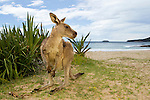 Eastern Grey Kangaroo (Macropus giganteus) male on beach, Pebbly Beach, Murramarang National Park, New South Wales, Australia