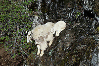 Mountain Goat (Oreamnos americanus) nanny with kid, Pacific N.W., May.  Adult goats shed heavily at this time of year.