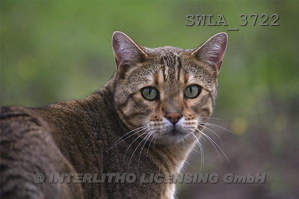 Carl, ANIMALS, photos(SWLA3722,#A#) Katzen, gatos