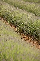 Europe/France/Provence-Alpes-Cote d'Azur/84/ Vaucluse/Saint Saturnin Les Apt: Domaine des Andéols,Hotel restaurant de charme -les champs de lavande