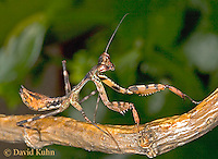 "0318-07oo  Budwing Mantis ""Nymph"" - Parasphendale agrionina ""Nymph"" © David Kuhn/Dwight Kuhn Photography"