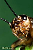 OR08-003z  Cricket - face and compound eye of house cricket - Acheta domestica