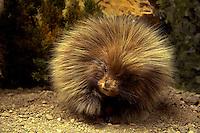 Young Porcupine. Utah.