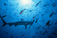 Scalloped hammerhead shark, Sphyrna lewini, and schooling Pacific creolefish, Paranthias colonus, in Galapagos Islands, Ecuador, Pacific Ocean