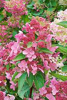 Hydrangea paniculata Fire and Ice aka Wim's Red in summer