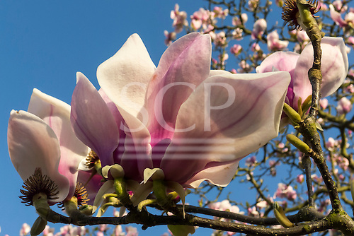 Royal Botanic Gardens, Kew, Surrey, England. Detail of Magnolia flower.