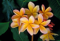 Plumeria, or frangipani, a fragrant blossom often used in lei-making.