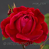 Gisela, FLOWERS, BLUMEN, FLORES, photos+++++,DTGK2336,#F#, EVERYDAY