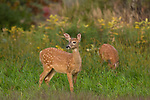 Two Wisconsin white-tailed fawns feeding in an autumn meadow.