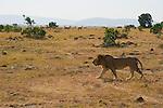 An impala herd watch a male lion closely as he crosses the Maasai Mara plain in Kenya.