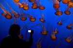 United States of America, California, Monterey County, Monterey: Sea Nettle (Chrysaora Fuscescens), at Monterey Bay Aquarium | Vereinigte Staaten von Amerika, Kalifornien, Monterey County, Monterey: Kompassqualle (Chrysaora Fuscescens) im Monterey Bay Aquarium