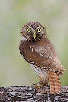 Ferruginous Pygmy-Owl, Glaucidium brasilianum, adult, Willacy County, Rio Grande Valley, Texas, USA, June 2006