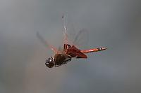 Carolina Saddlebags (Tramea carolina) Dragonfly - Male in flight, Gordonia-Alatamaha State Park, Reidsville, Georgia