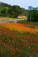 State highway 16 finds this stunning field with a vivid red color explosion of Indian Blanket Firewheel wildflowers gently painted in morning sunlight in Kerrville, Texas Hill Country - Stock Image.