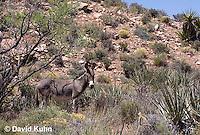 0711-1002  Wild Burro (Feral Donkey), Mojave Desert, Equus africanus asinus  © David Kuhn/Dwight Kuhn Photography