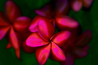 Close up of Frangipani or red Plumeria flowers. Kauai, Hawaii