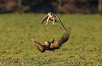 Buzzard warns off peregrine falcon by Peter Orr