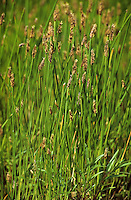 Gewöhnliche Sumpf-Simse, Sumpfsimse, Sumpfried, Simse, Eleocharis palustris, Common Spike Rush