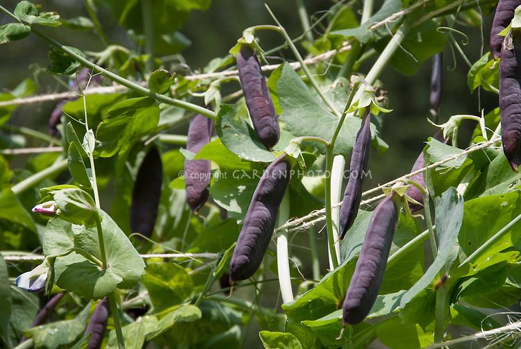 Heirloom variety of peas with purple pods on climbing vine plants