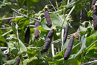 Heirloom variety of peas with purple pods on climbing vine plants