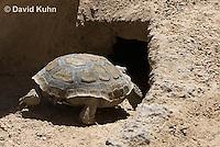 0609-1015  Desert Tortoise Retreating into Burrow to Escape Heat (Mojave Desert), Gopherus agassizii  © David Kuhn/Dwight Kuhn Photography