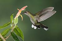 "Violet Sabrewing, Campylopterus hemileucurus, female in flight feeding on ""Snakeface"" flower , Central Valley, Costa Rica, Central America"