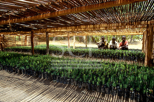 Chambeshi River, Zambia. Three workers at a forestry project with seedlings under sun shades.