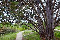 Cupressus guadalupensis Guadalupe Island Cypress tree, at Santa Cruz Botanic Garden