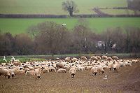 21.11.2020 Ewes grazing fodder rape<br /> ©Tim Scrivener Photographer 07850 303986<br />      ....Covering Agriculture In The UK....