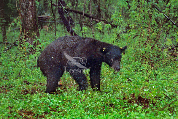 Louisiana Black Bear (Ursus americanus) in pouring rainstorm.  Tensas National Wildlife Refuge, Louisiana..April.  This is a young male that minutes earlier was drugged, tagged, weighted, etc. by bear biologist studying Louisana Black Bear.
