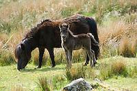 Shetland pony and foal near Carsphairn, Ayrshire, Scotland.