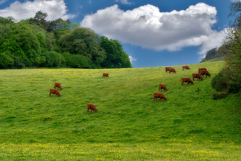 Cows in Pasture, England.